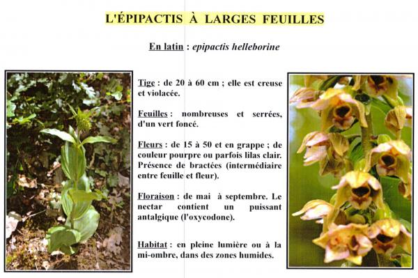 Epipactis a larges feuilles