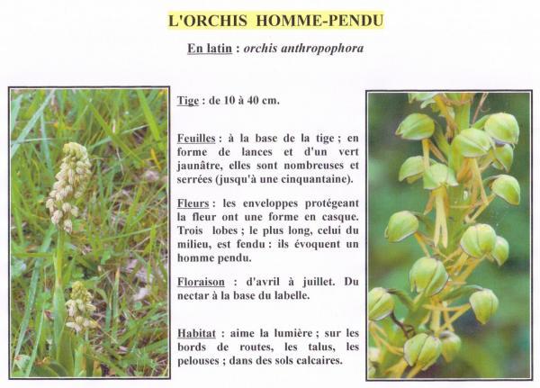 Orchis homme pendu